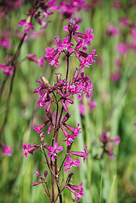 цветок смолка