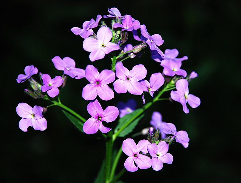 Цветы вечерница