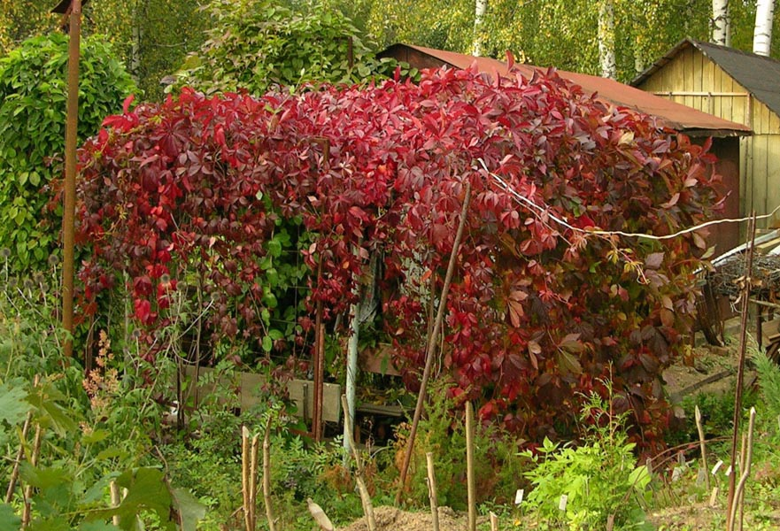 Девичий виноград - первый