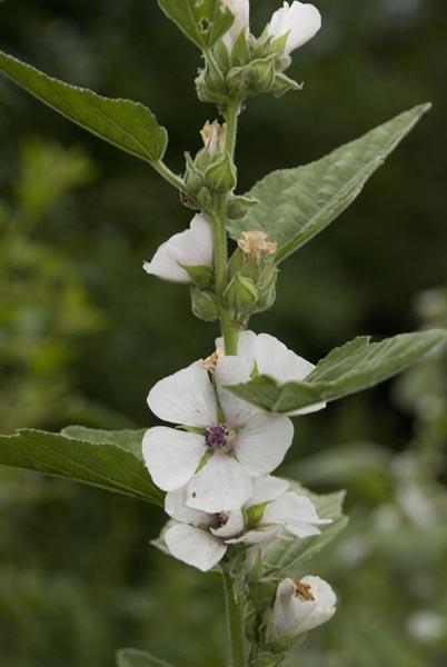 Алтея растение фото