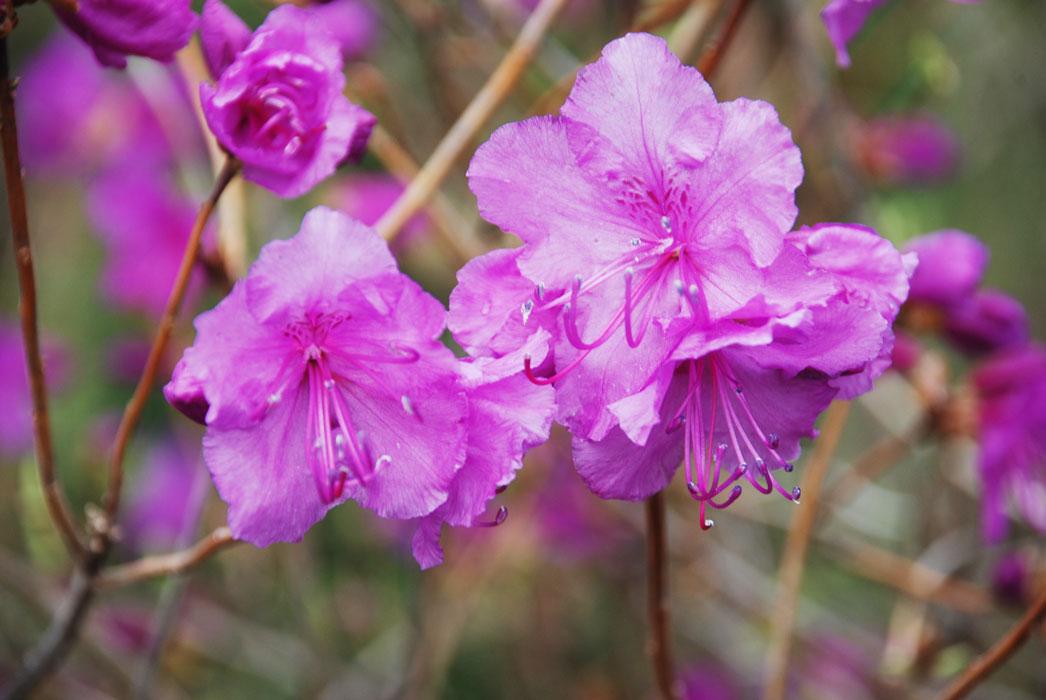 Картинки по запросу картинки цветов багульника дальневосточного