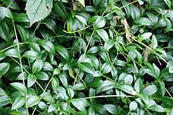 Барвинок (фото цветов) - советы, секреты, рекомендации
