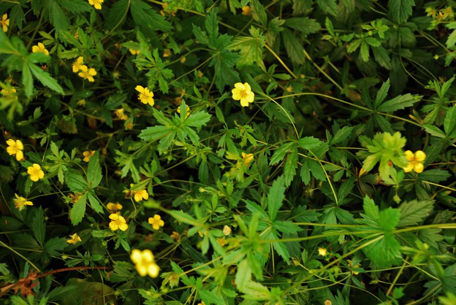 растение колган фото