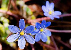 Печеночница - Голубая перелеска - Растения - П - Статьи