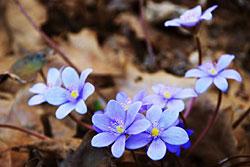 Цветок перелесок или перелеска