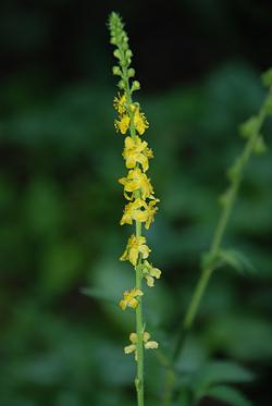 Трава репешок обыкновенный - репешок лечебные свойства и противопоказания