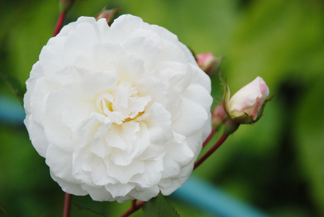 роза фото айсберг